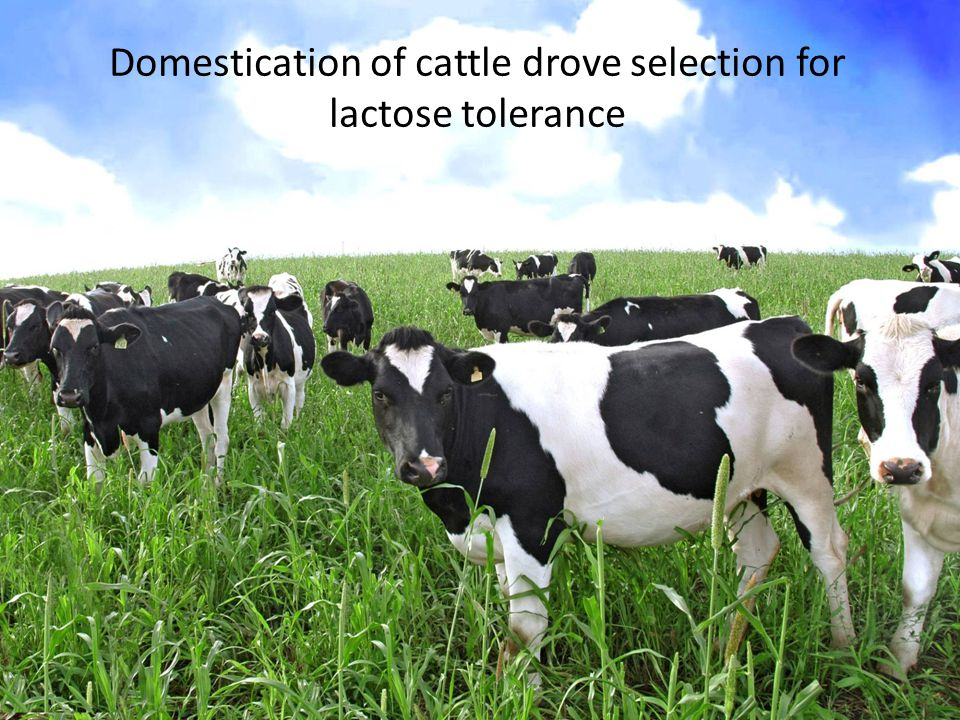Domestication of cattle drove selection for lactose tolerance