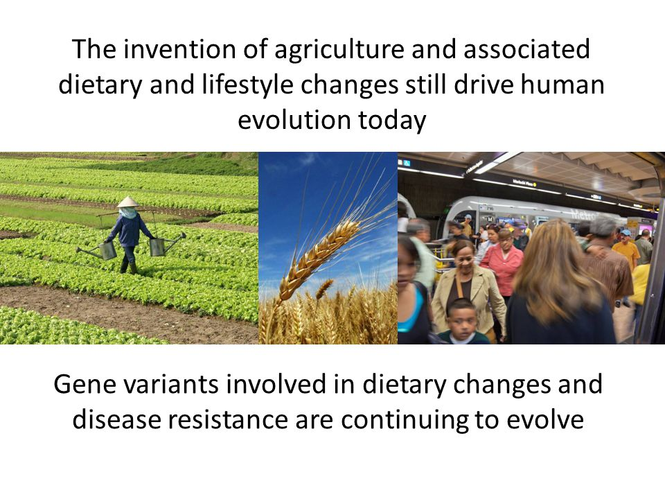 The invention of agriculture and associated dietary and lifestyle changes still drive human evolution today Gene variants involved in dietary changes and disease resistance are continuing to evolve