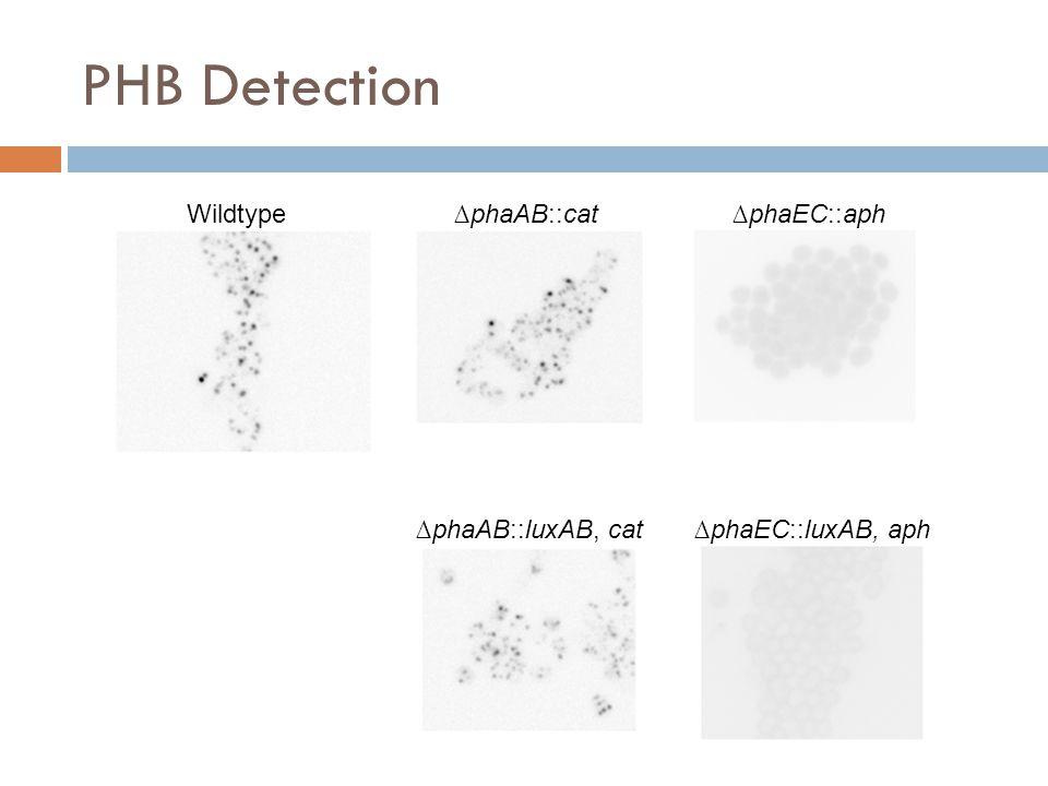 PHB Detection Wildtype ∆phaAB::cat ∆phaEC::aph ∆phaAB::luxAB, cat ∆phaEC::luxAB, aph