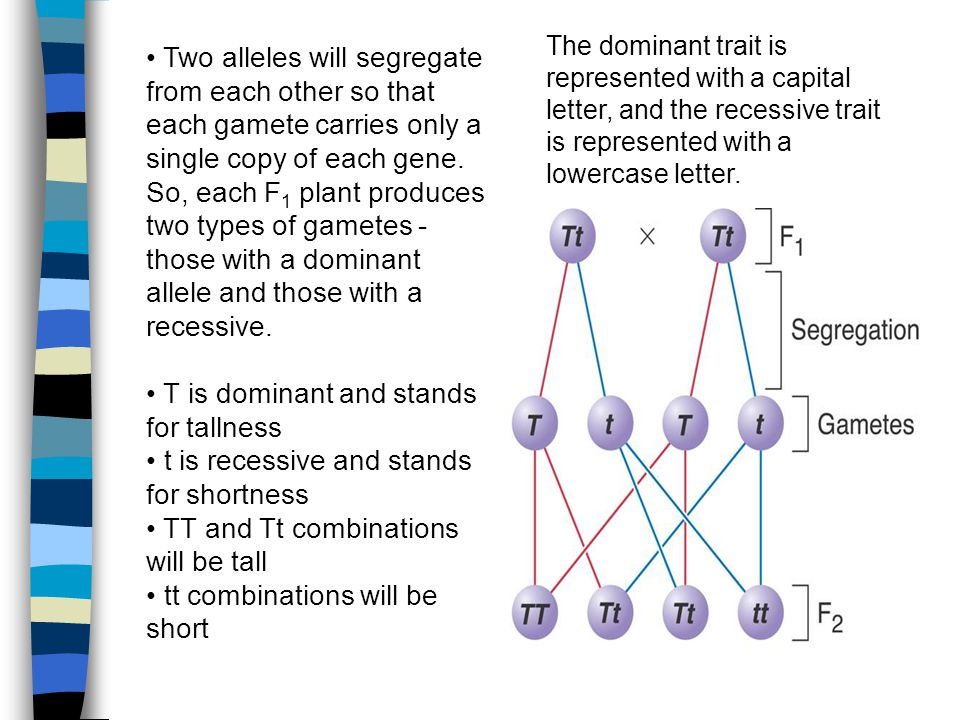 Two alleles will segregate from each other so that each gamete carries only a single copy of each gene.