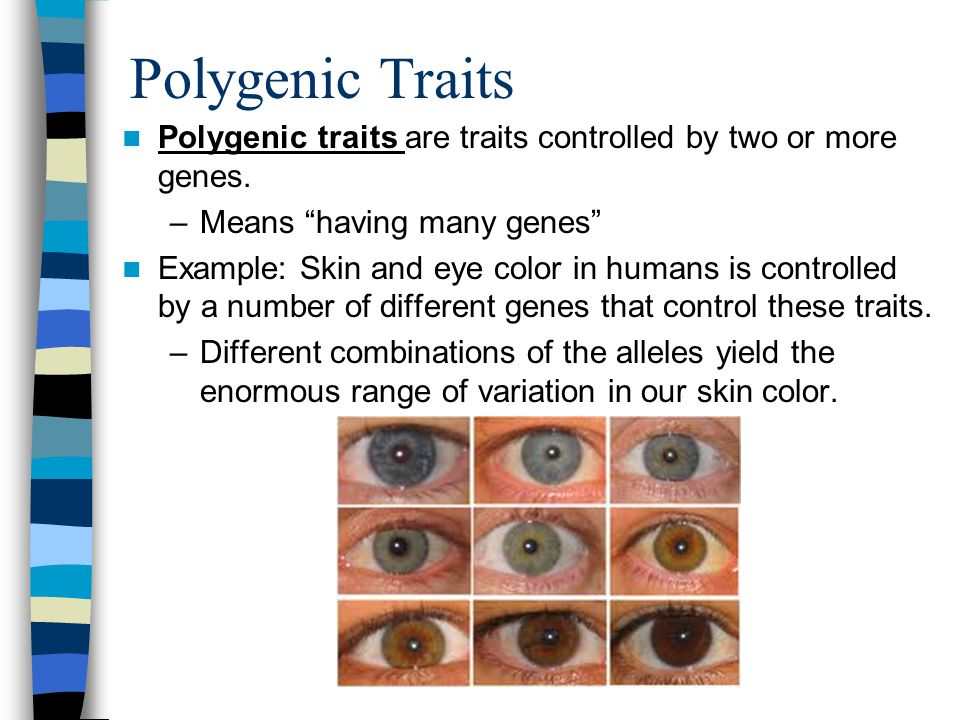 Polygenic Traits Polygenic traits are traits controlled by two or more genes.