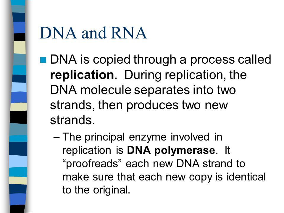 DNA and RNA DNA is copied through a process called replication.