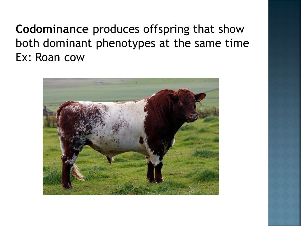 Codominance produces offspring that show both dominant phenotypes at the same time Ex: Roan cow