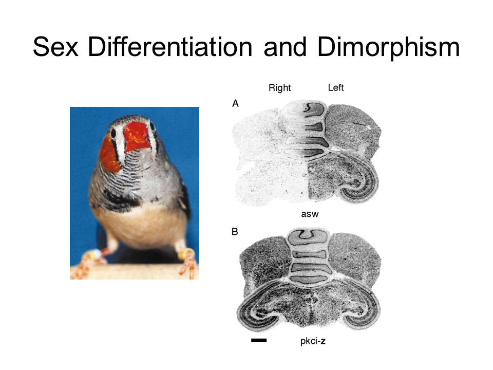 Sex Differentiation and Dimorphism occurs during…… In utero Development Adulthood This differentiation and dimorphism arises from circulation of sex steroids –Testosterone, Estrogen, Progesterone, 5 ɑ DHT