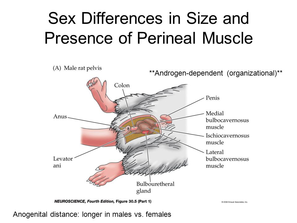 Sex Differences in Size and Presence of Perineal Muscle Anogenital distance: longer in males vs. females **Androgen-dependent (organizational)**