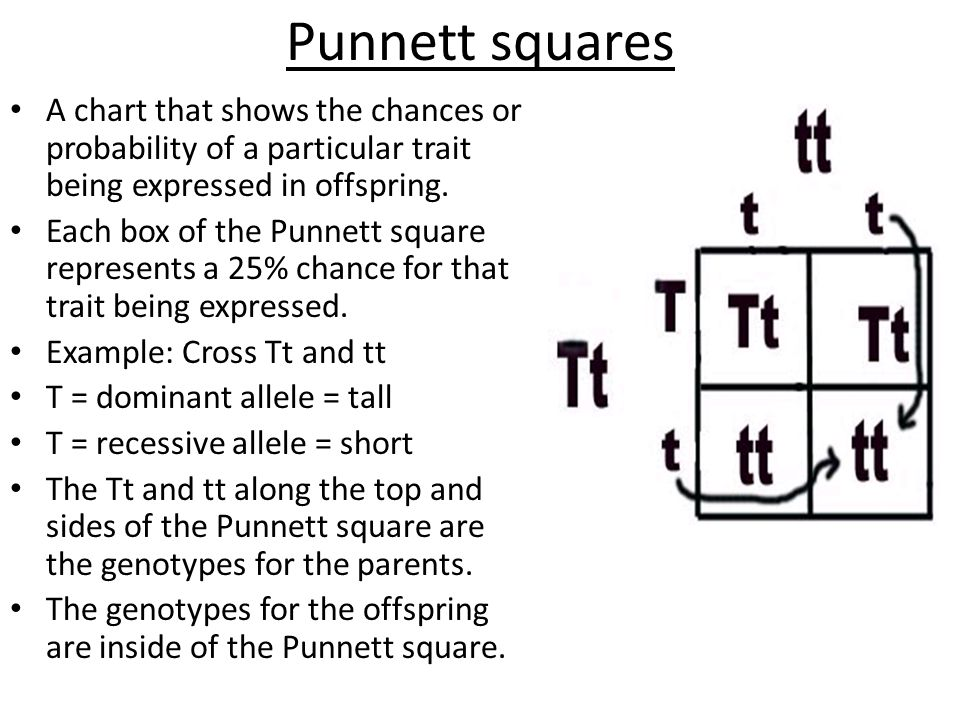 Punnett squares A chart that shows the chances or probability of a particular trait being expressed in offspring. Each box of the Punnett square repre