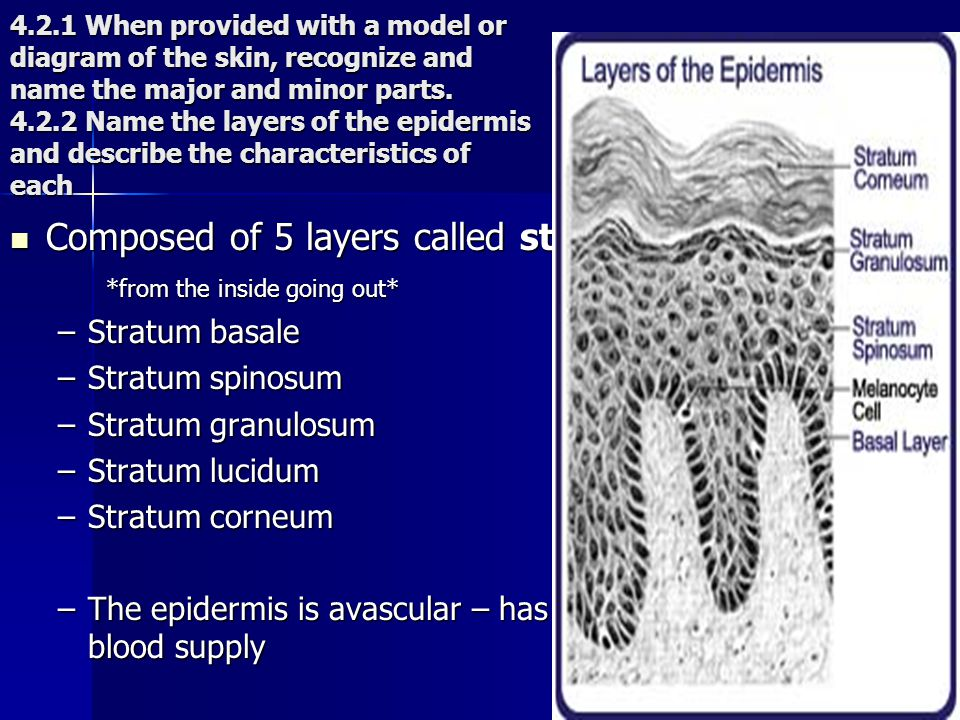 4.2.1 When provided with a model or diagram of the skin, recognize and name the major and minor parts. 4.2.2 Name the layers of the epidermis and desc
