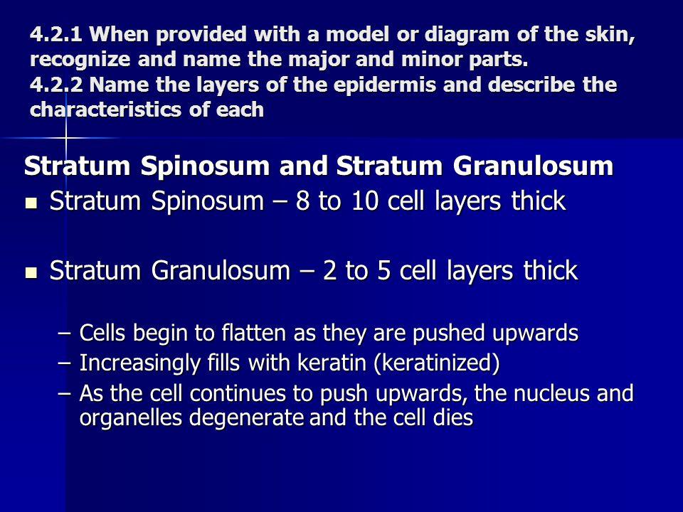 Stratum Spinosum and Stratum Granulosum Stratum Spinosum – 8 to 10 cell layers thick Stratum Spinosum – 8 to 10 cell layers thick Stratum Granulosum –