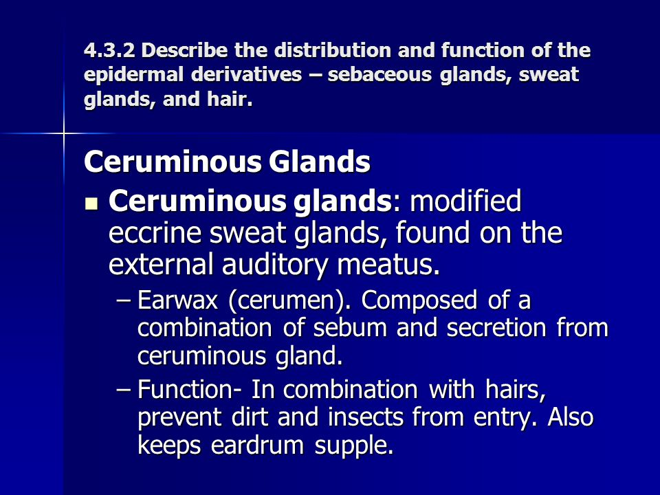 Ceruminous Glands Ceruminous glands: modified eccrine sweat glands, found on the external auditory meatus. Ceruminous glands: modified eccrine sweat g