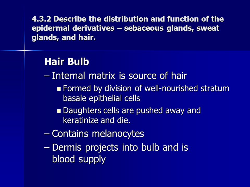 Hair Bulb –Internal matrix is source of hair Formed by division of well-nourished stratum basale epithelial cells Formed by division of well-nourished