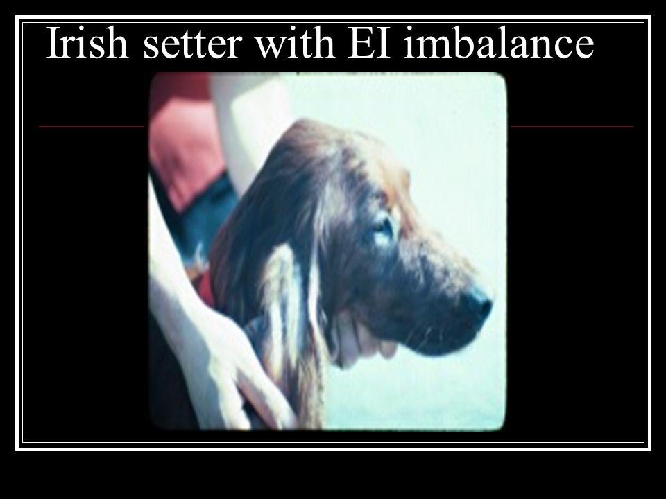 Irish setter with EI imbalance