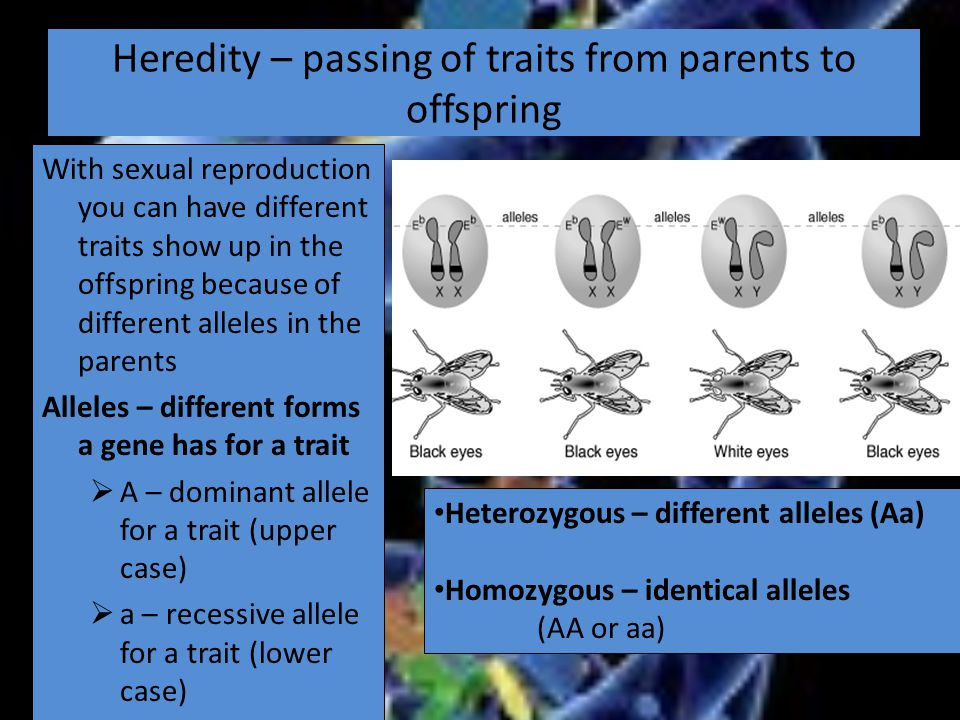 Heredity – passing of traits from parents to offspring With sexual reproduction you can have different traits show up in the offspring because of different alleles in the parents Alleles – different forms a gene has for a trait  A – dominant allele for a trait (upper case)  a – recessive allele for a trait (lower case) Heterozygous – different alleles (Aa) Homozygous – identical alleles (AA or aa)