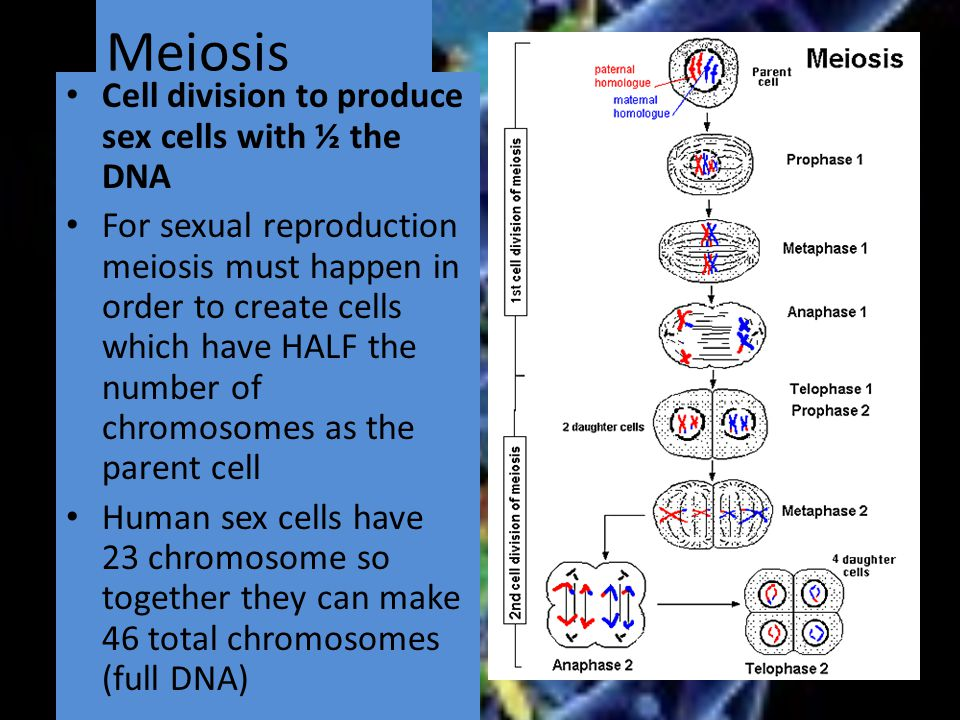 Meiosis Cell division to produce sex cells with ½ the DNA For sexual reproduction meiosis must happen in order to create cells which have HALF the number of chromosomes as the parent cell Human sex cells have 23 chromosome so together they can make 46 total chromosomes (full DNA)