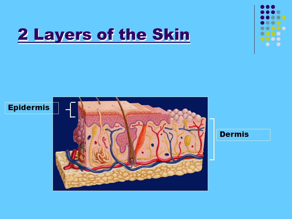 Skin Functions - 1. Sensations 2. Protection 3. Regulates internal temperature. (has tiny blood vessels help regulate various areas.) Normal body temp