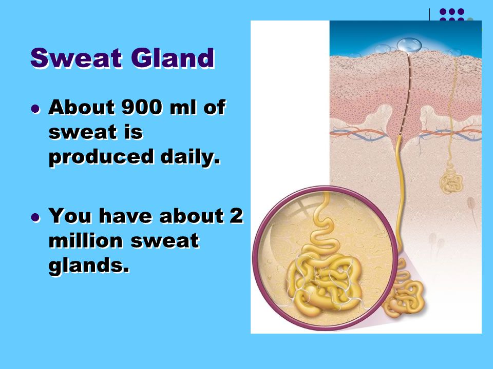 2. Sweat Glands pores located at the surface of the skin. Help in temperature regulation and helps rid the body of wastes.