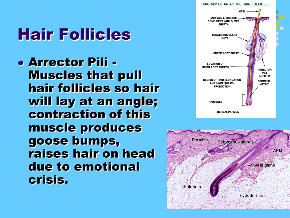 3. Hair Follicles narrow cavities where hair grows from.