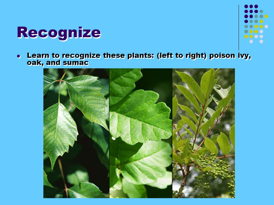 Recognize Learn to recognize these plants: (left to right) poison ivy, oak, and sumac