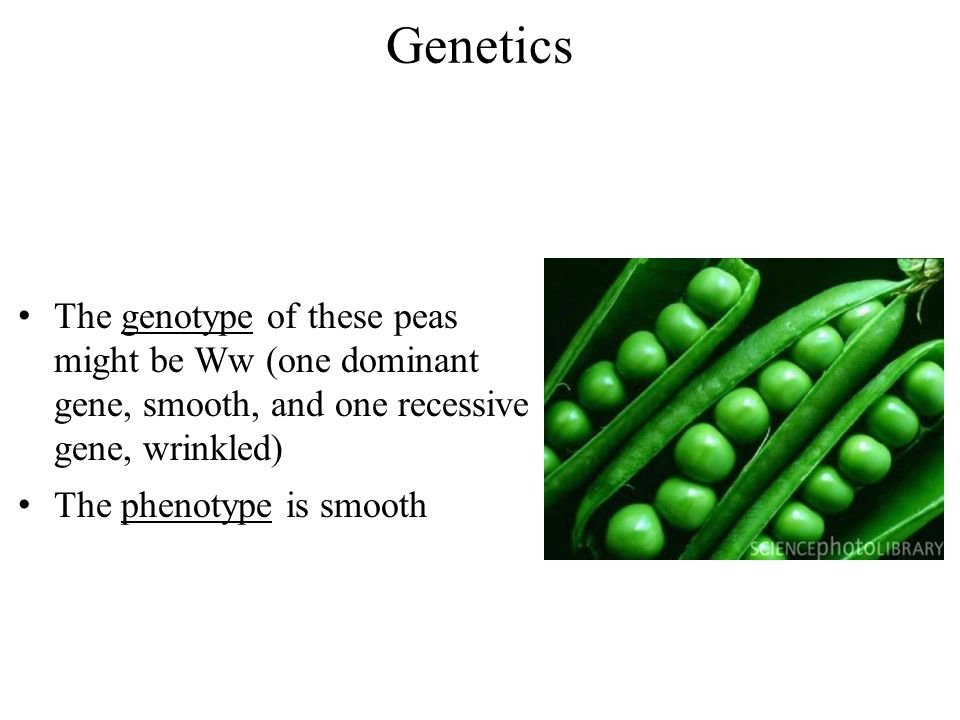 Genetics The genotype of these peas might be Ww (one dominant gene, smooth, and one recessive gene, wrinkled) The phenotype is smooth