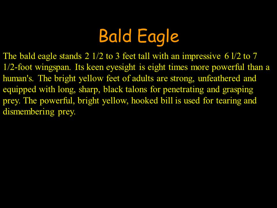 Bald Eagle The bald eagle stands 2 1/2 to 3 feet tall with an impressive 6 l/2 to 7 1/2-foot wingspan.