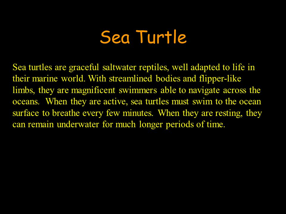 Sea Turtle Sea turtles are graceful saltwater reptiles, well adapted to life in their marine world.
