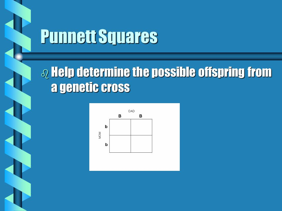 Punnett Squares b Help determine the possible offspring from a genetic cross