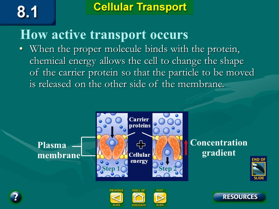 Section 8.1 Summary – pages 195 - 200 How active transport occurs Each type of carrier protein has a shape that fits a specific molecule or ion.Each t