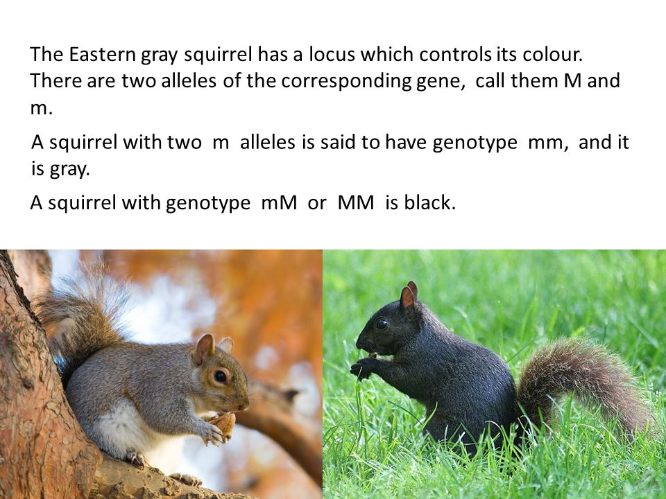 The Eastern gray squirrel has a locus which controls its colour.