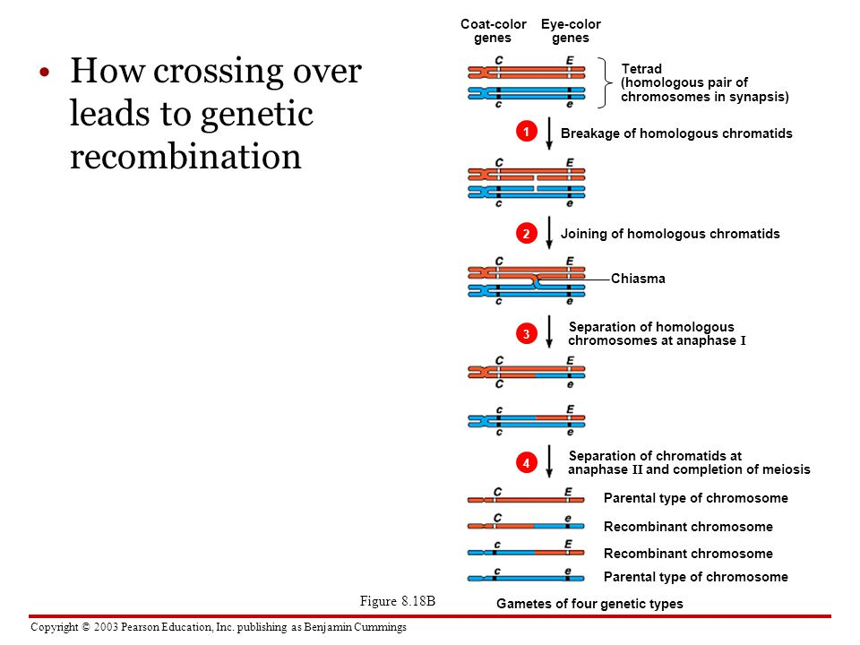 Copyright © 2003 Pearson Education, Inc. publishing as Benjamin Cummings How crossing over leads to genetic recombination Figure 8.18B Tetrad (homolog