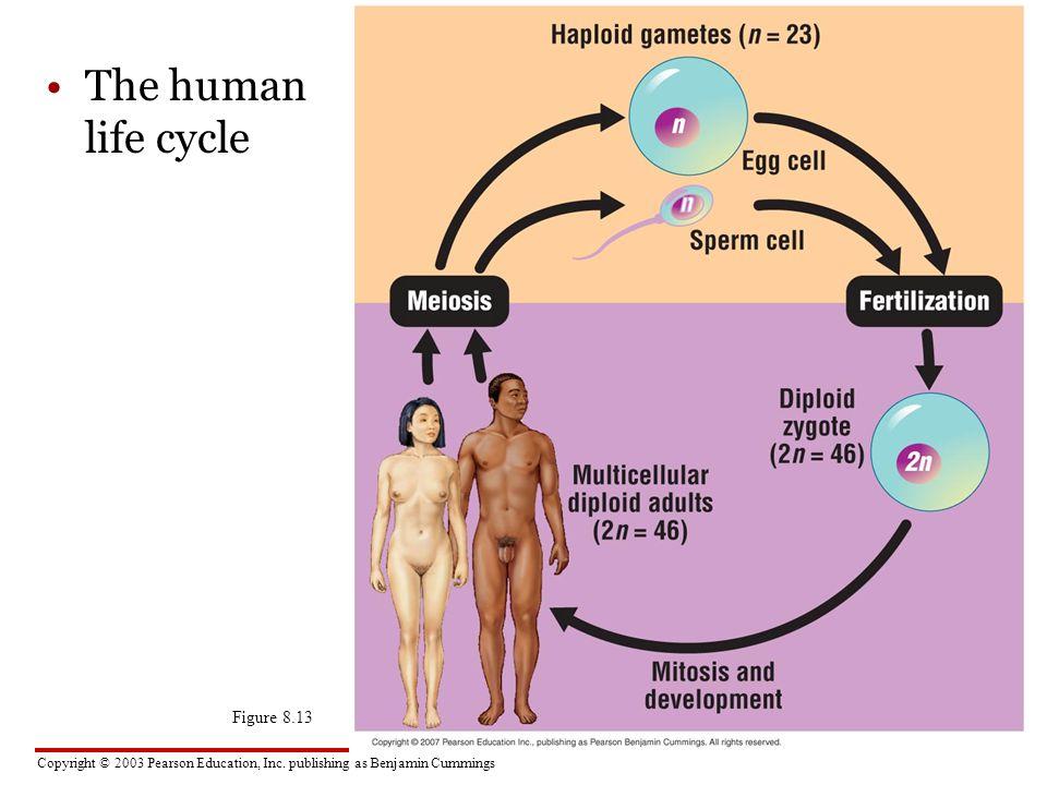 Copyright © 2003 Pearson Education, Inc. publishing as Benjamin Cummings The human life cycle Figure 8.13 MEIOSISFERTILIZATION Haploid gametes (n = 23