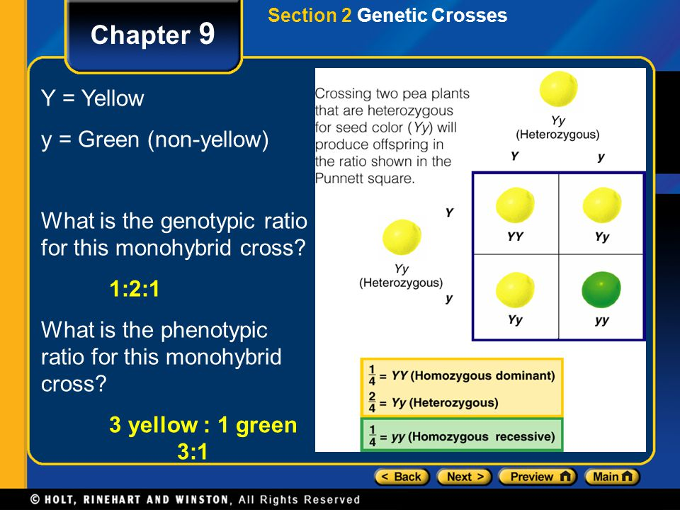 Chapter 9 Section 2 Genetic Crosses Y = Yellow y = Green (non-yellow) What is the genotypic ratio for this monohybrid cross? 1:2:1 What is the phenoty