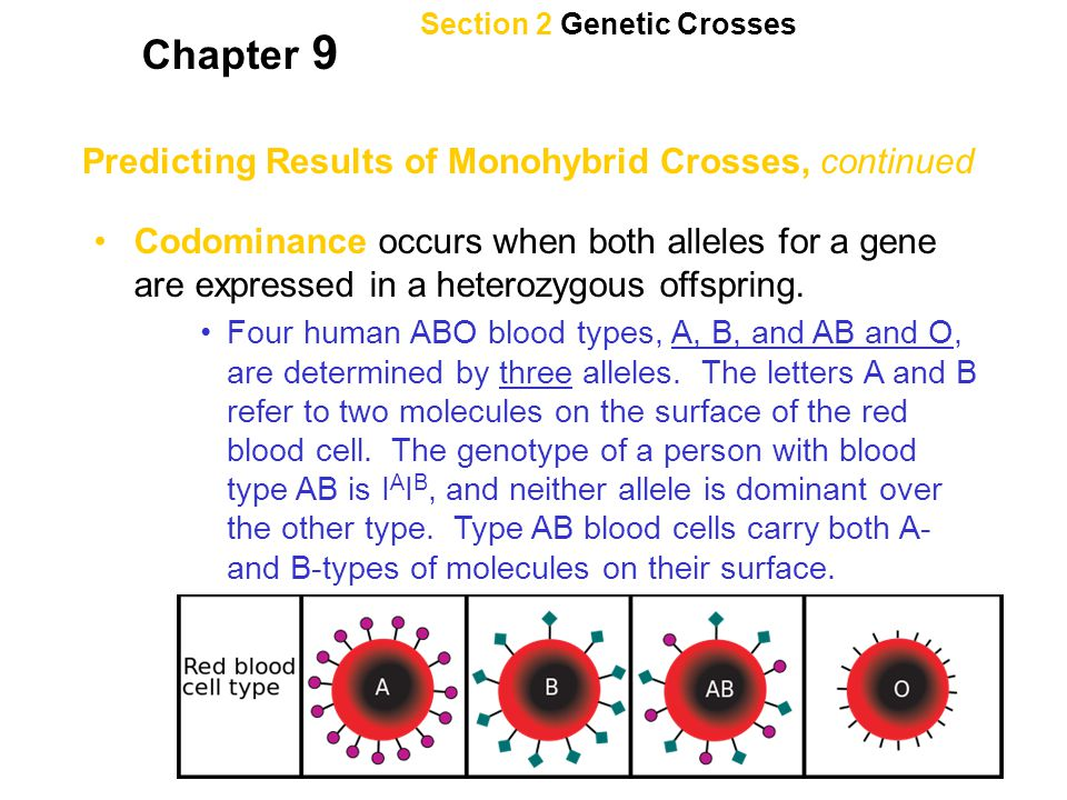 Section 2 Genetic Crosses Chapter 9 Predicting Results of Monohybrid Crosses, continued Codominance occurs when both alleles for a gene are expressed