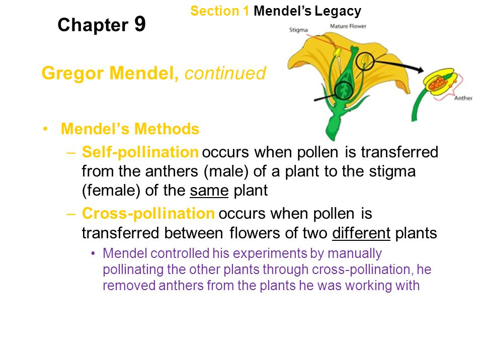 Section 1 Mendel's Legacy Chapter 9 Gregor Mendel, continued Mendel's Methods –Self-pollination occurs when pollen is transferred from the anthers (ma