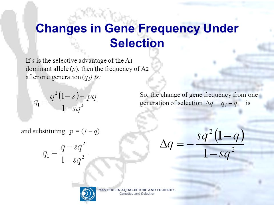 MASTERS IN AQUACULTURE AND FISHERIES Genetics and Selection Changes in Gene Frequency Under Selection If s is the selective advantage of the A 1 dominant allele (p), then the frequency of A 2 after one generation (q 1 ) is: and substituting p = (1 – q) So, the change of gene frequency from one generation of selection Δq = q 1 – q is