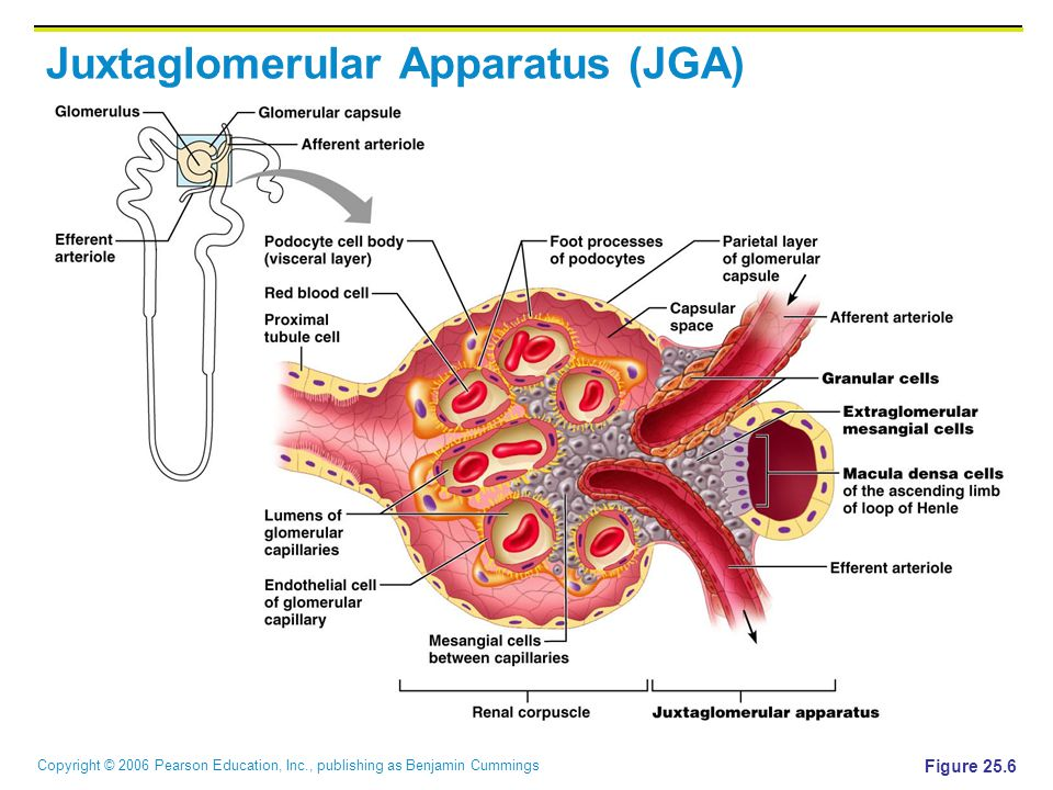 Copyright © 2006 Pearson Education, Inc., publishing as Benjamin Cummings Juxtaglomerular Apparatus (JGA) Figure 25.6