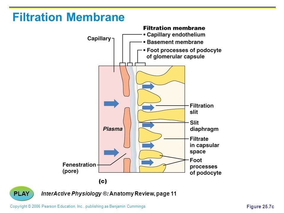 Copyright © 2006 Pearson Education, Inc., publishing as Benjamin Cummings Filtration Membrane PLAY InterActive Physiology ®: Anatomy Review, page 11 F