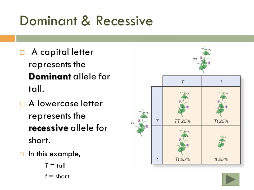 Dominant & Recessive Dominant  A capital letter represents the Dominant allele for tall.