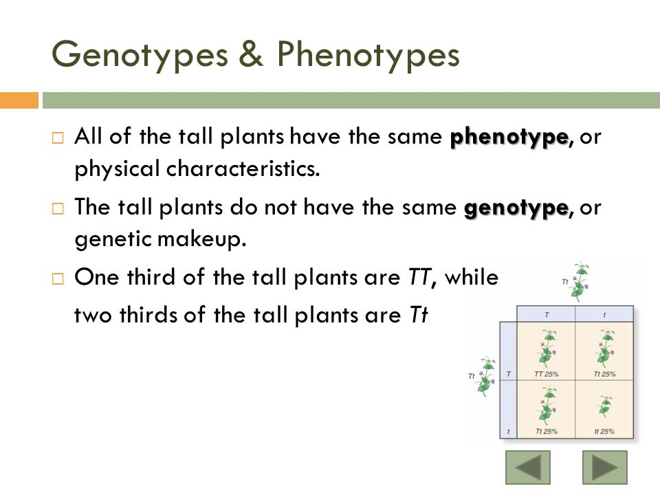 Genotypes & Phenotypes phenotype  All of the tall plants have the same phenotype, or physical characteristics.