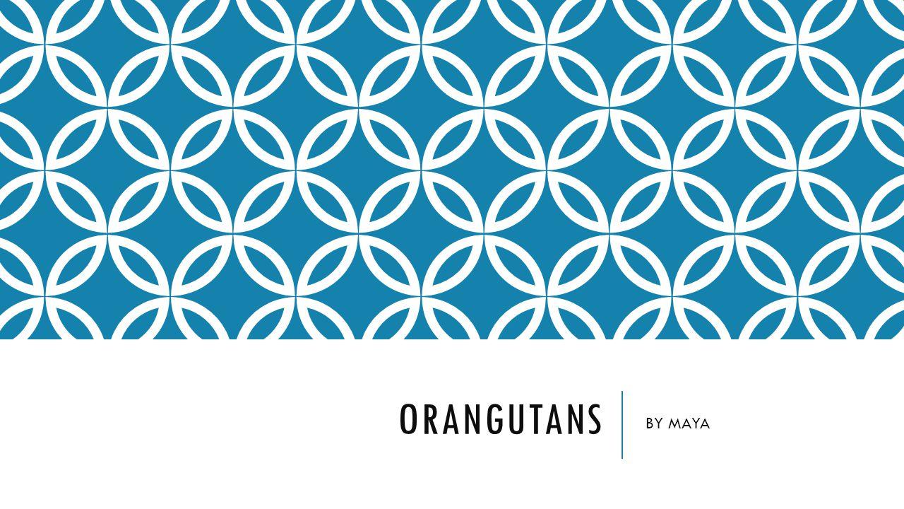 ORANGUTANS BY MAYA