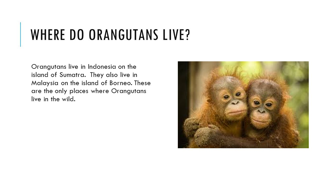 WHERE DO ORANGUTANS LIVE. Orangutans live in Indonesia on the island of Sumatra.