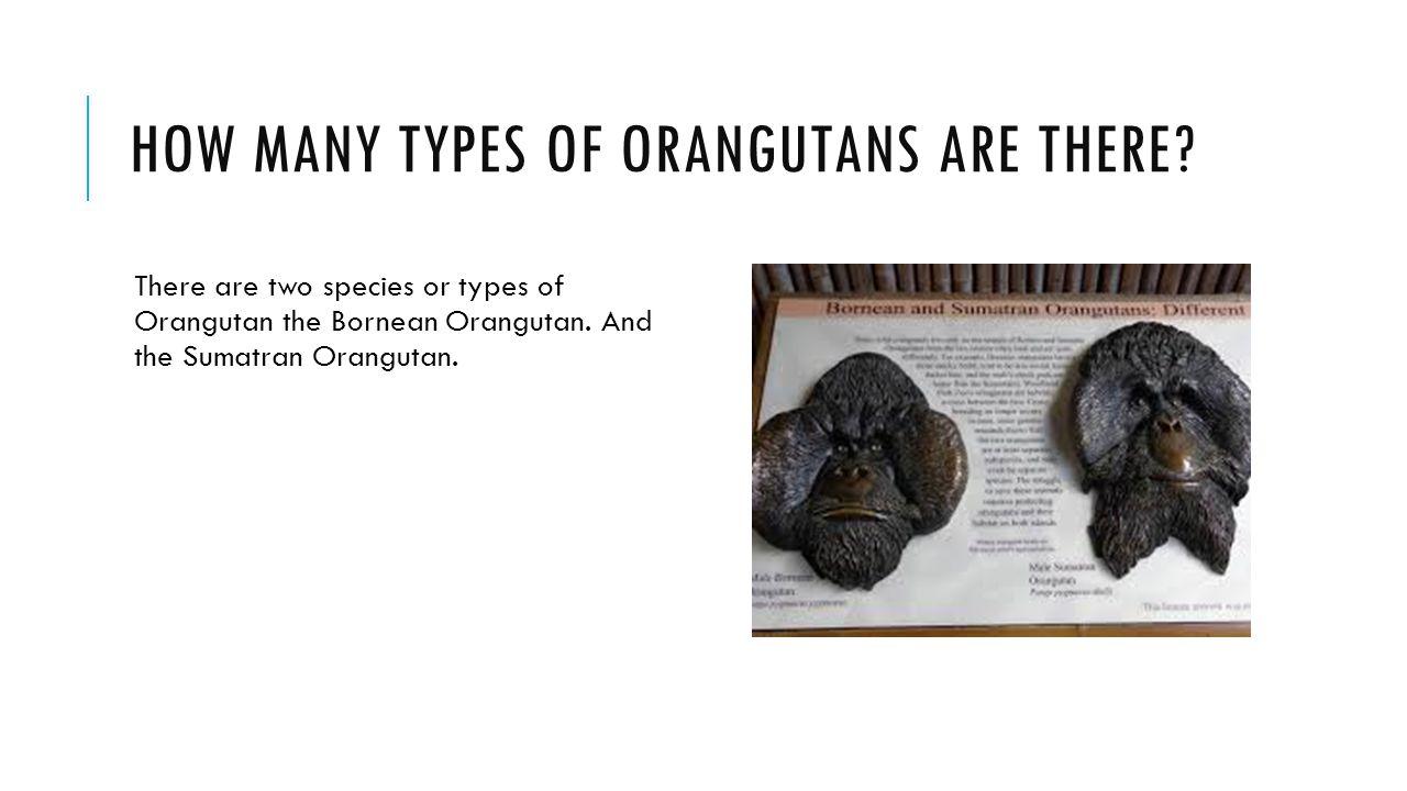 HOW MANY TYPES OF ORANGUTANS ARE THERE? There are two species or types of Orangutan the Bornean Orangutan. And the Sumatran Orangutan.