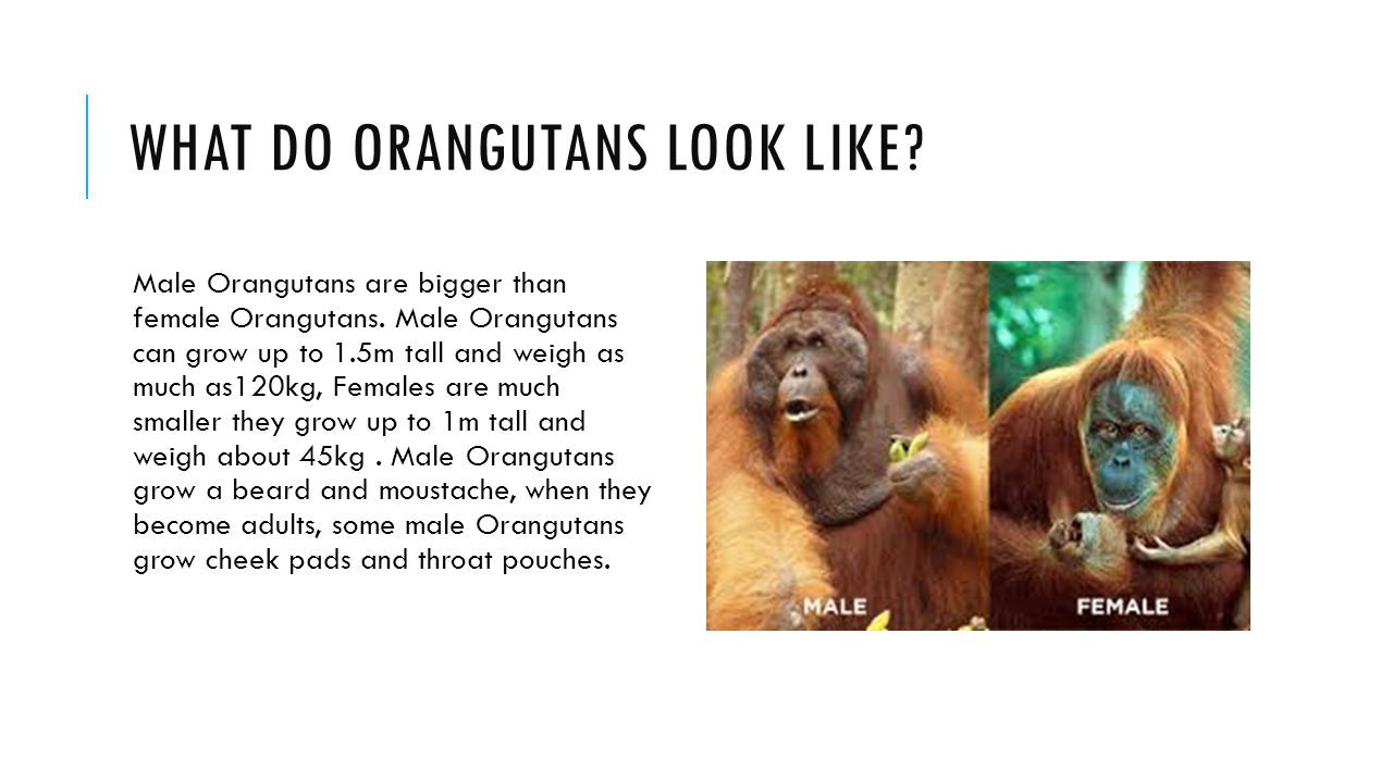 WHAT DO ORANGUTANS LOOK LIKE. Male Orangutans are bigger than female Orangutans.