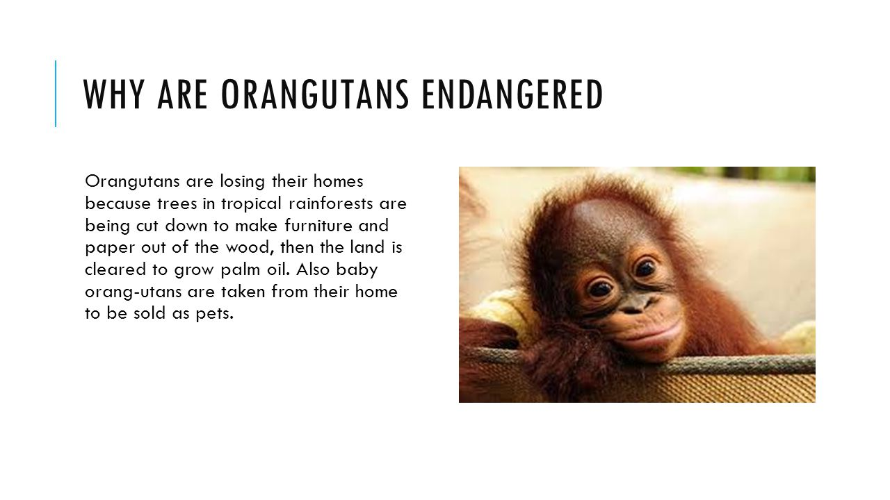 WHY ARE ORANGUTANS ENDANGERED Orangutans are losing their homes because trees in tropical rainforests are being cut down to make furniture and paper o