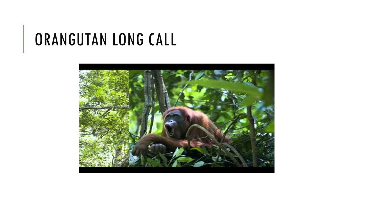 ORANGUTAN LONG CALL
