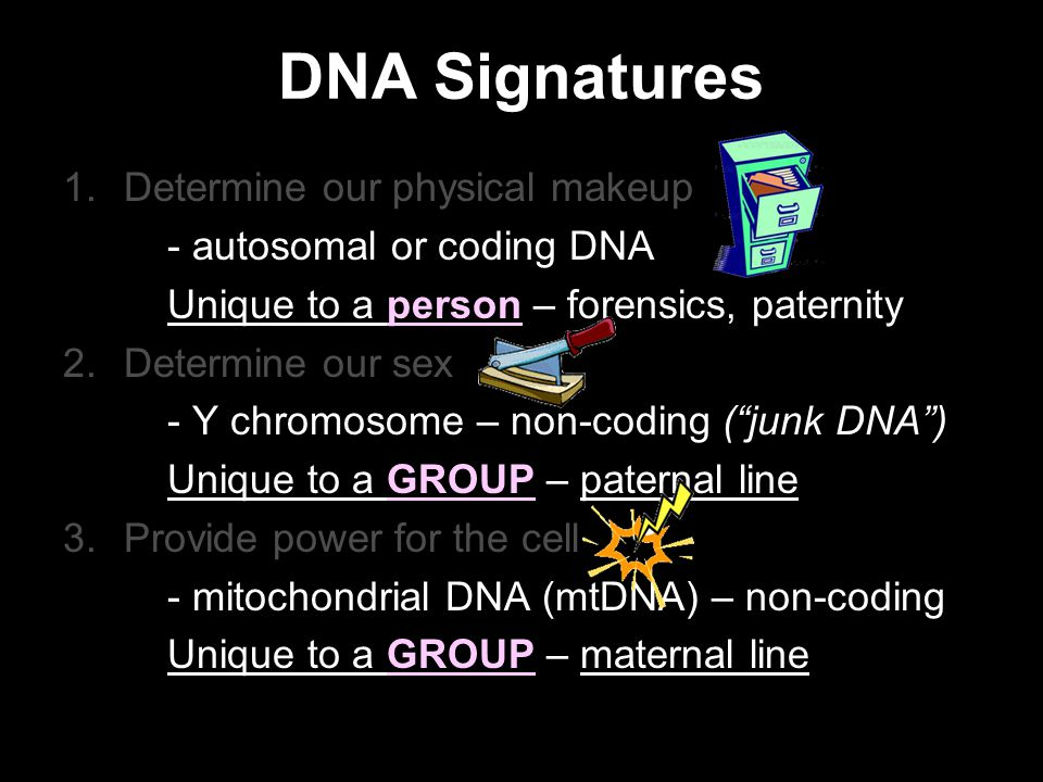 1.Determine our physical makeup - autosomal or coding DNA Unique to a person – forensics, paternity 2.Determine our sex - Y chromosome – non-coding ( junk DNA ) Unique to a GROUP – paternal line 3.Provide power for the cell - mitochondrial DNA (mtDNA) – non-coding Unique to a GROUP – maternal line