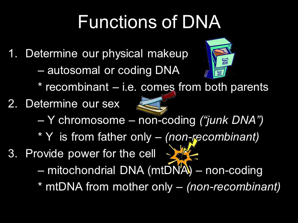 Functions of DNA 1.Determine our physical makeup – autosomal or coding DNA * recombinant – i.e.