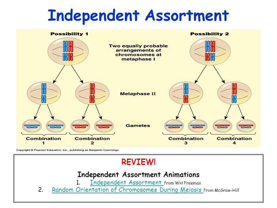Independent Assortment REVIEW.
