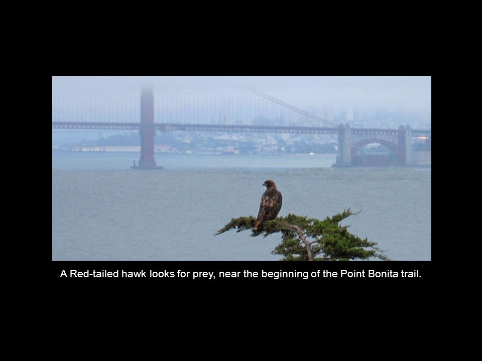 A Red-tailed hawk looks for prey, near the beginning of the Point Bonita trail.