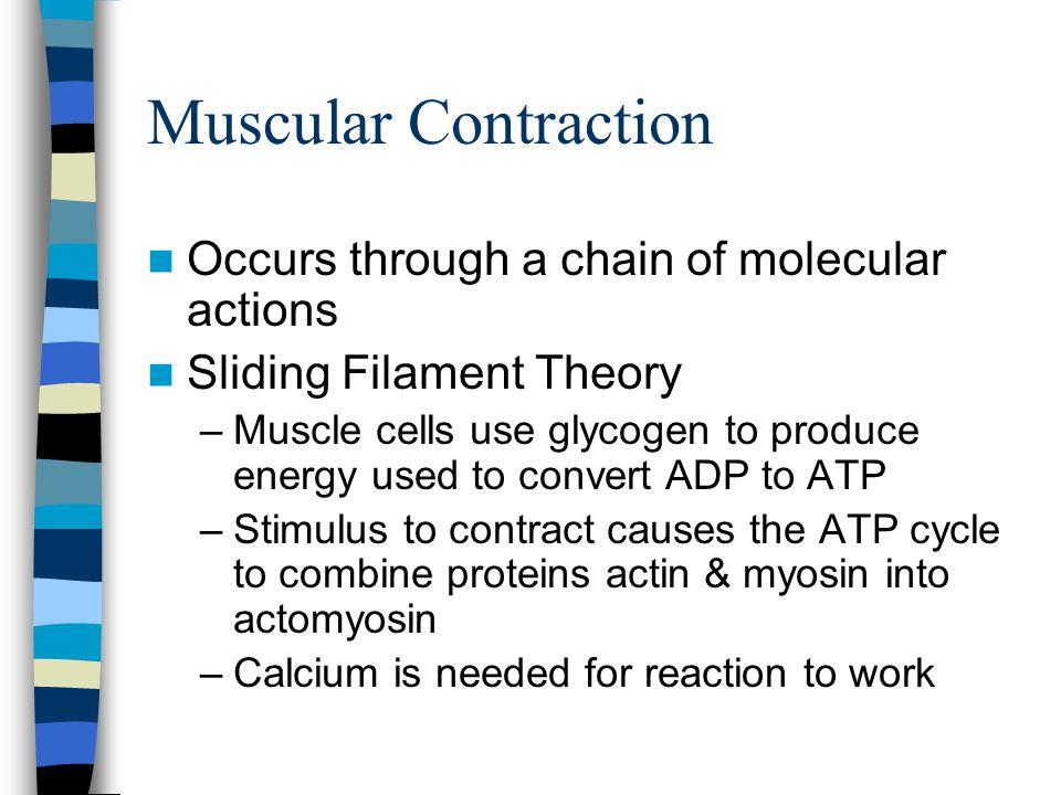 Sliding Filament Theory Cont.