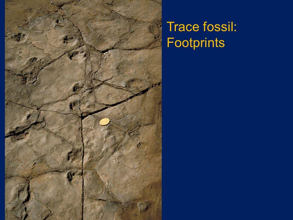 Trace fossil: Footprints