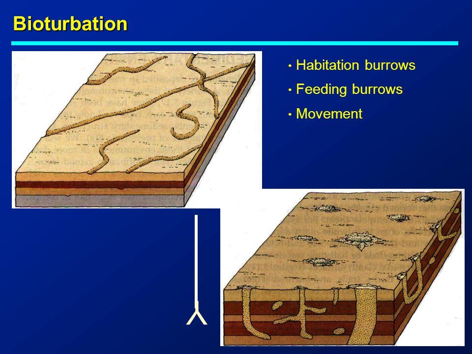 Bioturbation Y Habitation burrows Feeding burrows Movement